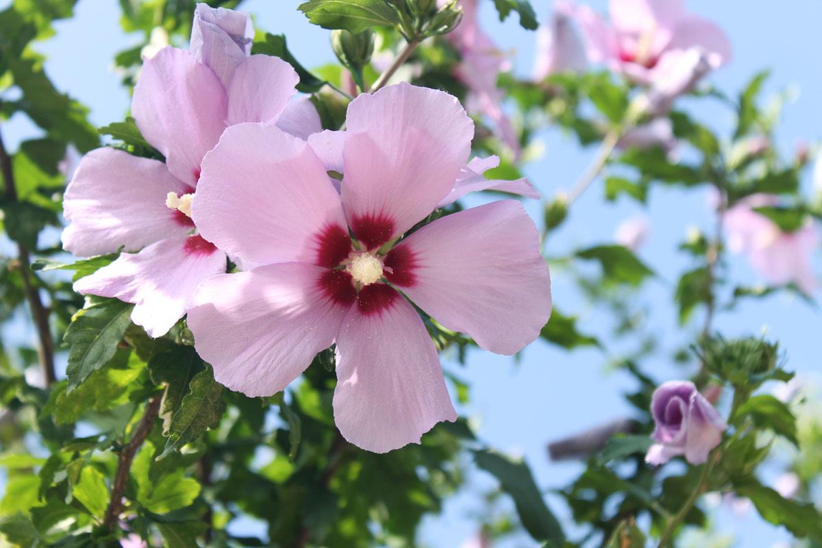 Ibiscus Rosa Sinensis E Syriacus Le Varieta Piu Amate