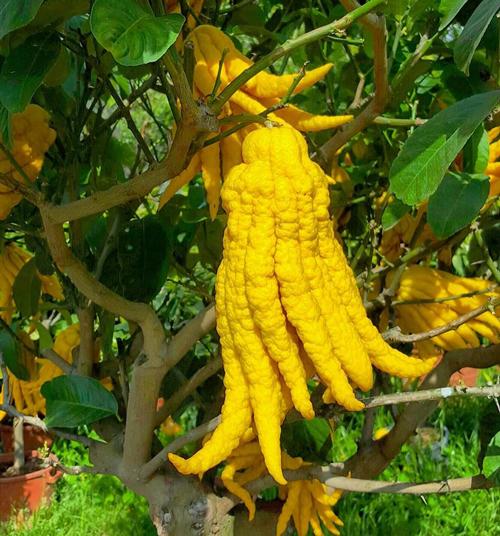 agrume mano di buddha