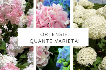 varietà ortensie