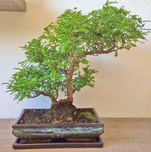 Falso pepe caratteristiche coltivazione e propriet for Bonsai pepe