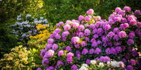 piante acidofile