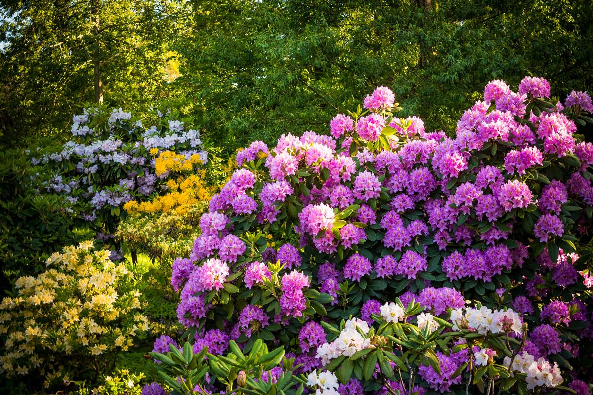 piante acidofile elenco delle acidofile da giardino pi