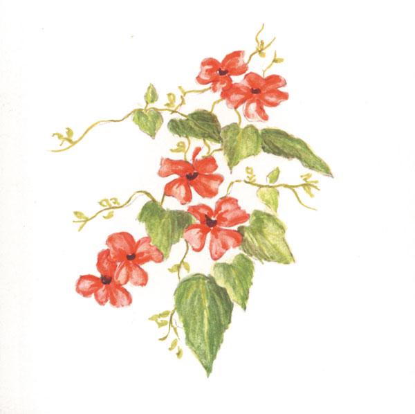 thunbergia