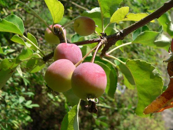 Malus Prunefolia