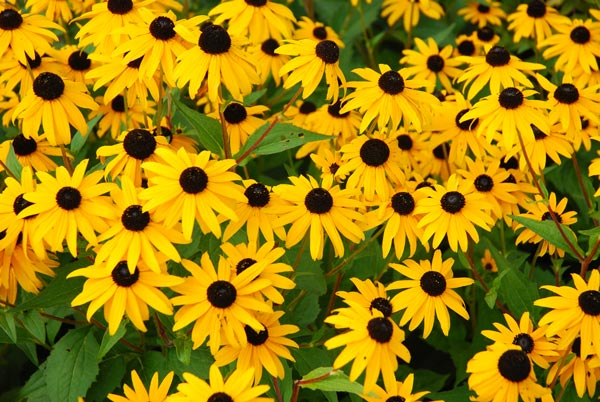 fiori di settembre Rudbeckia