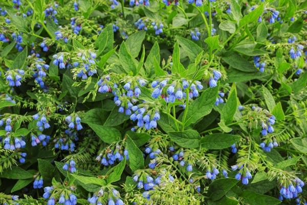 fiori blu Consolida
