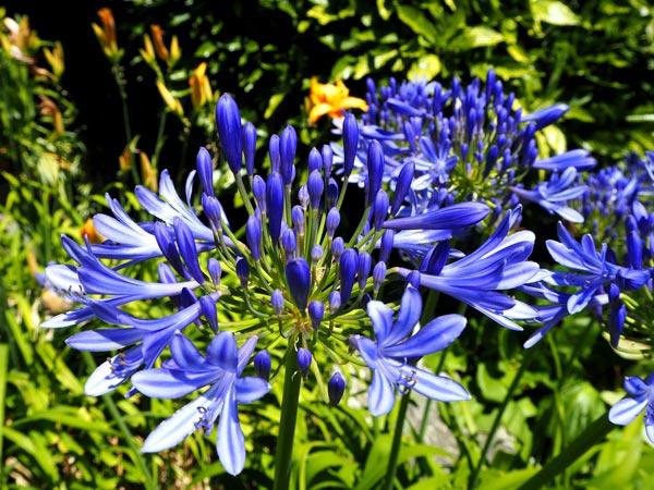 fiori blu agapanto
