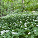 Aglio orsino | Caratteristiche, proprietà e coltivazione