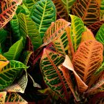 Croton | Codiaeum Variegatum