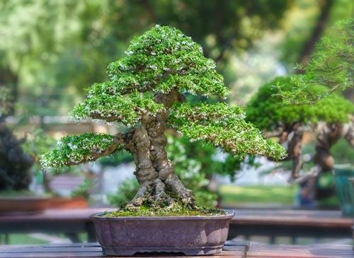 Cura dei bonsai sempreverdi spoglianti da fiore e da - Cura dei bonsai in casa ...