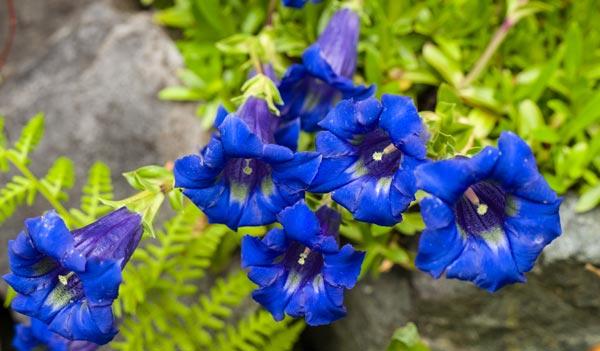 Fiori Blu.14 Fiori Blu Per Tutte Le Stagioni Dalla Primavera All Inverno