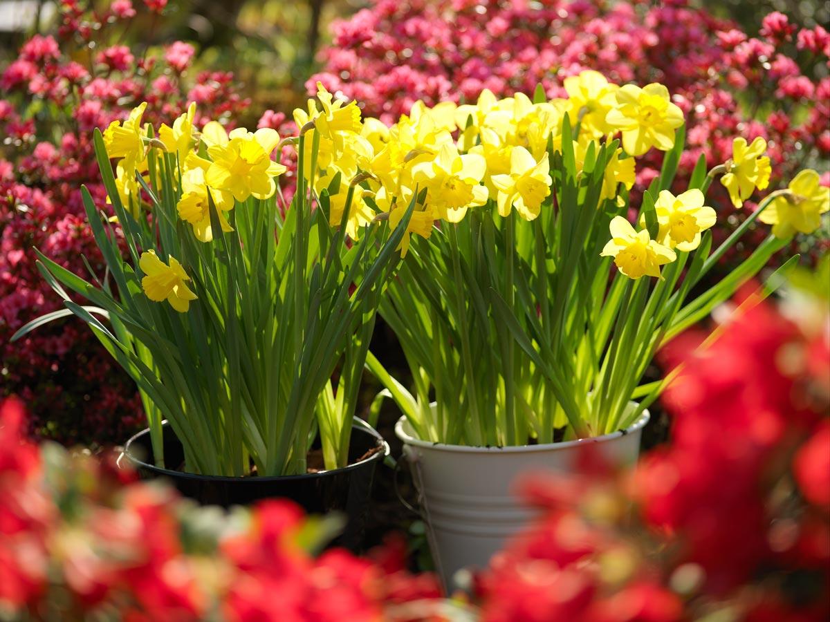 Piantare I Bulbi Di Tulipani bulbi in autunno, fiori a primavera - fai da te in giardino
