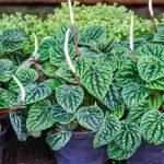 Peperomia | Ideale nelle fioriere