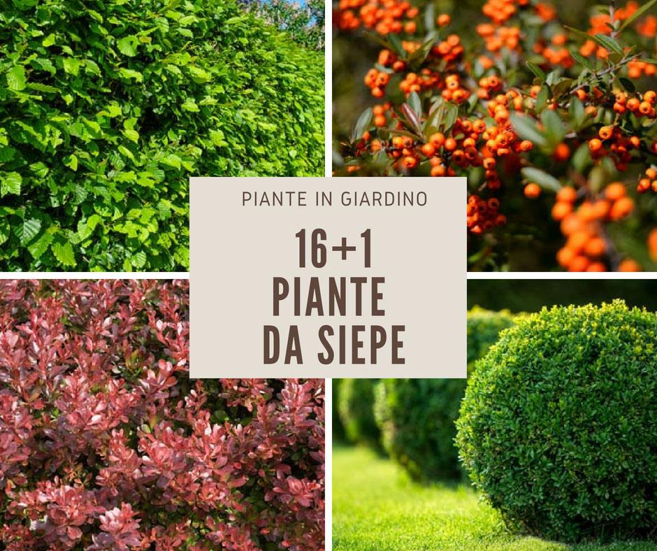 17 piante da siepe fai da te in giardino for Piante da cespuglio