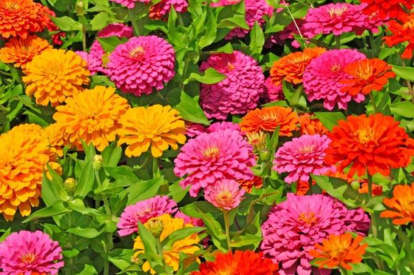 fiori di settembre Zinnia