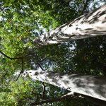 Bagolaro un albero imponente e dai mille utilizzi