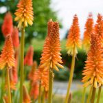 Kniphofia | Pianta resistente dalla colorata infiorescenza