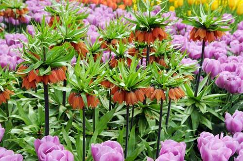corona imperiale Fritillaria imperialis