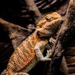Drago barbuto | Pogona Vitticeps un piccolo sauro da terrario