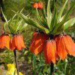 Fritillaria imperialis | Corona imperiale, un bulbo da fiore dalla lunga storia