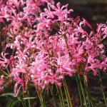 Nerine | Bulbi perenni fioriti anche in autunno