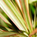 Phormium | La pianta del lino dei Maori