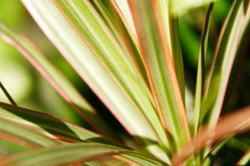 phormium lino pianta
