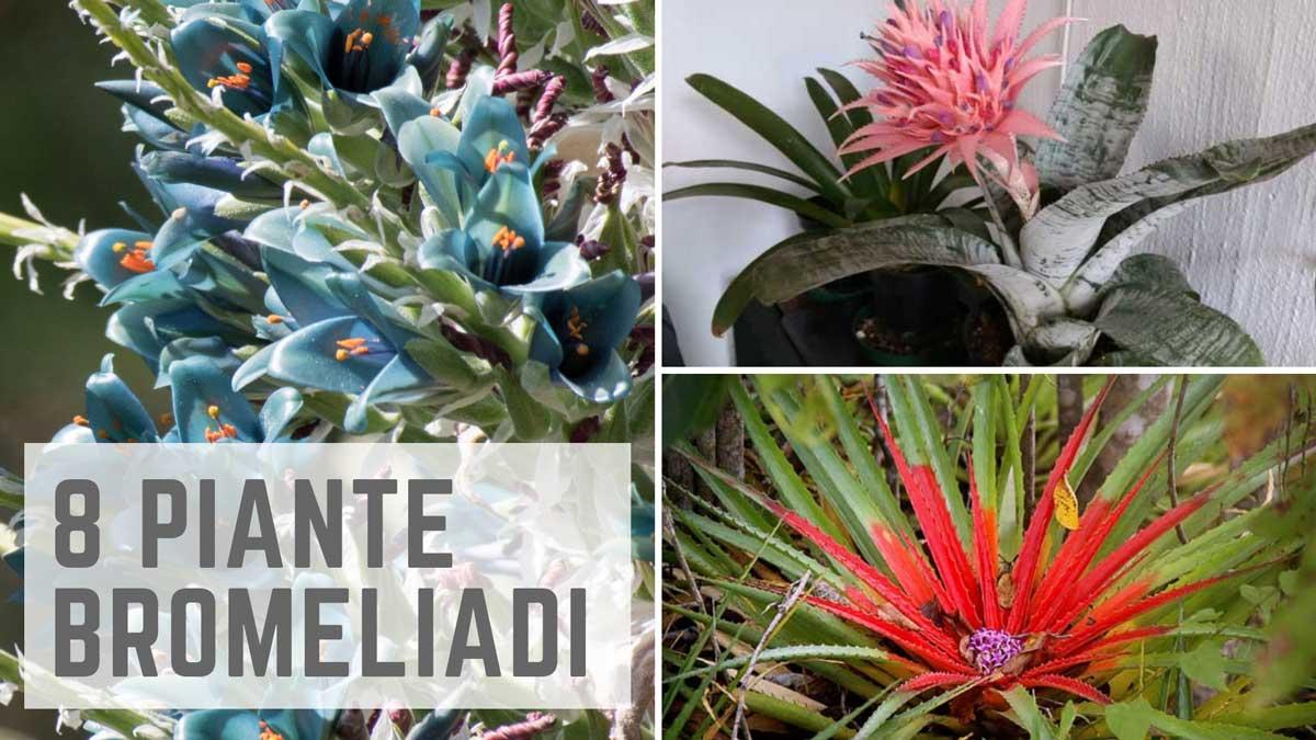 piante Bromeliadi