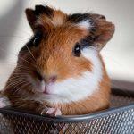 Porcellino d'India | Piccolo roditore timido e affettuoso