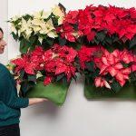 Un giardino verticale di… Stelle di Natale con le borse-vaso idrorepellenti!