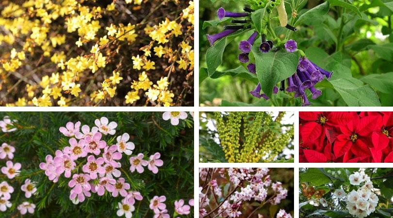 7 piante invernali arbusti a fioritura invernale fai for Piante belle da giardino