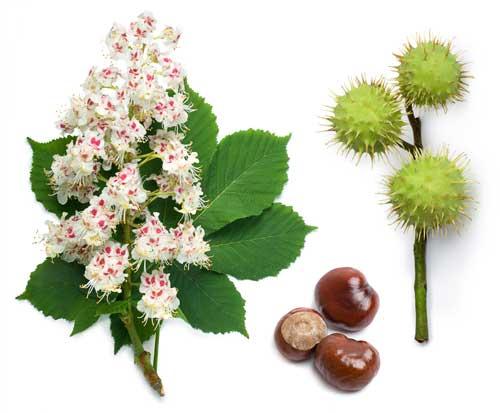 fiori e frutti ippocastano