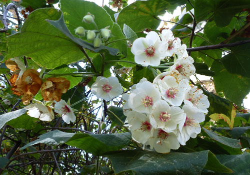 piante invernali Dombeya burgessiae