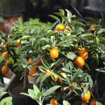 Mandarino cinese | Kumquat l'albero dei mandarini orientali