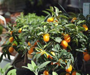 mandarino cinese Kumquat