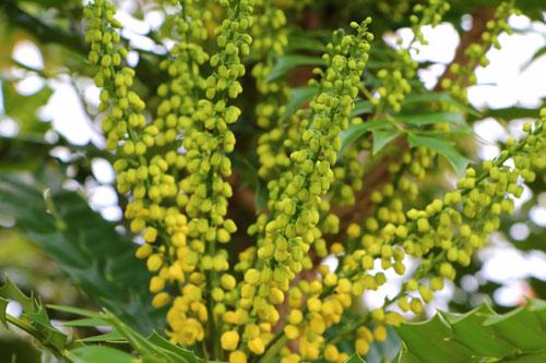 Piante invernali mahonia