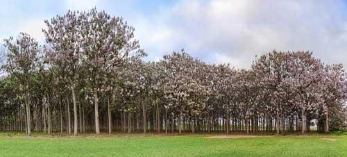 alberi paulownia