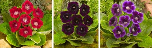 glossina fiore