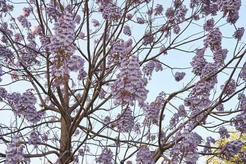 paulonia fioritura