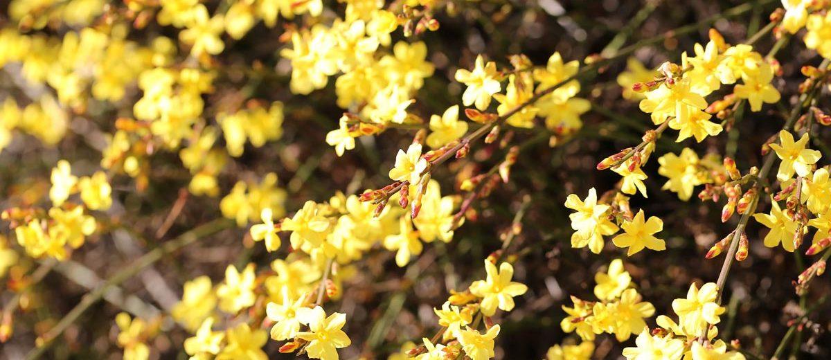 Cespuglio Con Fiori Gialli.7 Piante Invernali Arbusti A Fioritura Invernale Fai Da Te In