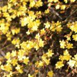 7 Piante invernali | Arbusti a fioritura invernale