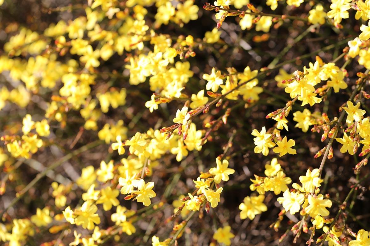 Piante Che Fioriscono Tutta Estate 7 piante invernali | arbusti a fioritura invernale - fai da