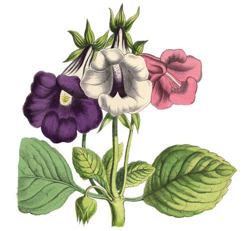 Fiori Glossinia