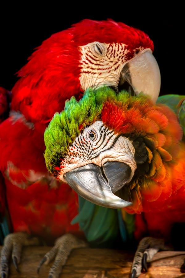 pappagalli Ara militaris