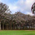 Paulownia | Coltivazione e riproduzione dell'albero