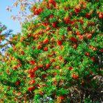 Taxus Baccata | L'albero del tasso comune