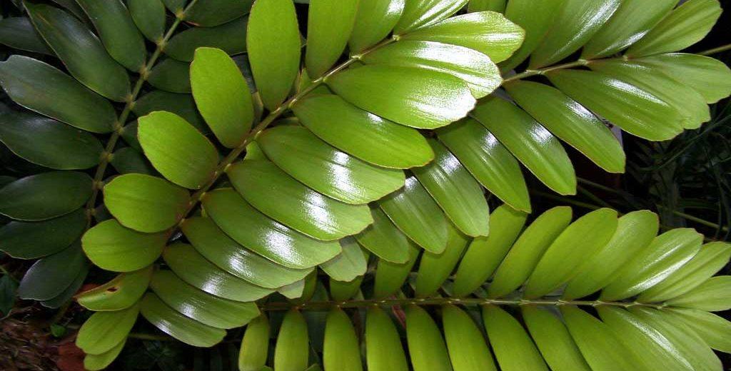 Piante Verdi Da Appartamento Zamioculcas.Zamia Succulenta Da Appartamento In Vaso Fai Da Te In Giardino