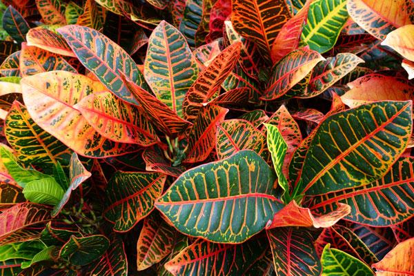 Croton variegato