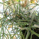 Rhipsalis | Piante cactacee pendenti con fiori e bacche