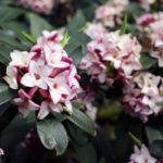 Daphne odora, la lavanda d'oriente | Consigli per la coltivazione